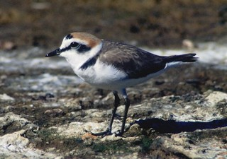 Numbers of breeding Kentish Plovers Charadrius ale...